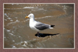 I Enjoy The Beach As Well by corngrowth, Photography->Birds gallery