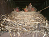 Babies in the rafters by rws1943, Photography->Birds gallery