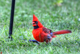 Good, A Cardinal Fan by 0930_23, photography->birds gallery
