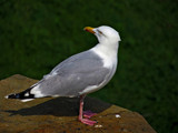 Herring gull by biffobear, photography->birds gallery