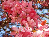 Crabapple Blossoms by trixxie17, photography->flowers gallery
