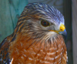 Hawk by JEdMc91, Photography->Birds gallery