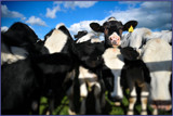 Cow, your time is up. by Mannie3, photography->animals gallery