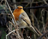 The Fat Lad by biffobear, photography->birds gallery