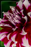 Dahlia Show 27 by corngrowth, photography->flowers gallery