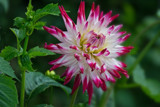 Fresh Dahlia by Ramad, photography->flowers gallery