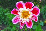 Dahlia Again by Ramad, photography->flowers gallery
