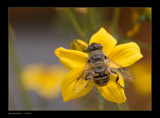 Busy Busy Bee by kodo34, Photography->Insects/Spiders gallery