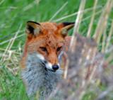 Reynard by biffobear, photography->animals gallery