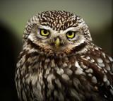 Mr Grumpy by biffobear, photography->birds gallery