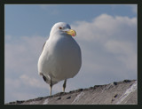 Seagull by SusanVenter, Photography->Birds gallery