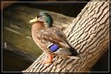 """Eat Turkey, Not Duck"" by Jimbobedsel, photography->birds gallery"