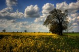 yellow fields, blue sky and white fluffy clouds by JQ, Photography->Landscape gallery