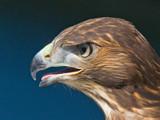 raptorial bird # 6 by kodo34, Photography->Birds gallery