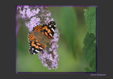 Sweet Attraction by tigger3, Photography->Butterflies gallery