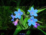 Sparkling Blue by StarLite, photography->flowers gallery