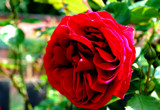 My Love Is Like A Red Red Rose ... by braces, Photography->Flowers gallery