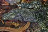 A Long Way From The Delta by braces, Photography->Reptiles/amphibians gallery