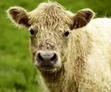 Calf by JaiJoli, photography->animals gallery