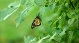 Monarch Release #5 by tigger3, photography->butterflies gallery
