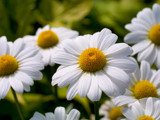 Darling Daisy by Surfcat, Photography->Flowers gallery