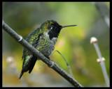Pastel and Irridesense by garrettparkinson, photography->birds gallery