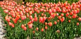 Tulip Grouping by tigger3, photography->flowers gallery