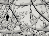 Poplar Crow by Eubeen, contests->b/w challenge gallery