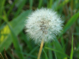 puffy dandy by debblor, Photography->Nature gallery