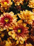 Harvest Time Mums by Pistos, photography->flowers gallery