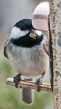 Chickadee with food by gharwood, Photography->Birds gallery