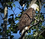 Bald Eagle # 5 by picardroe, photography->birds gallery