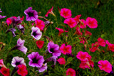 Colors a Poppin by vangoughs, Photography->Flowers gallery