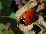 Ladybird by Morat, photography->insects/spiders gallery