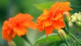 Flaming Orange by nmsmith, photography->flowers gallery