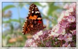 Admiral by Larser, Photography->Butterflies gallery