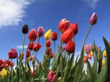 Beautiful tulips blowing in the wind. by auroraobers, Photography->Flowers gallery