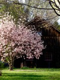 Tulip Poplar and Barn by ccmerino, photography->landscape gallery