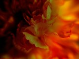 incandescent carnation by monkeypuzzle, Photography->Manipulation gallery