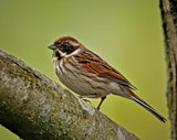 Female Reed Bunting by biffobear, photography->birds gallery