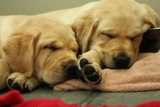 Puppies Having Cat Naps by MustangGirl95, photography->pets gallery