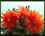 Spiny's Beauty by StarLite, photography->flowers gallery