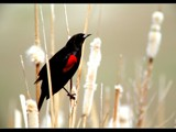 Mr Redwing Waits by photoimagery, Photography->Birds gallery
