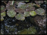 Lily pond 4 by RobNevin, photography->nature gallery