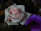 Painted Rose 2 by rvdb, photography->manipulation gallery