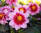 Dahlia Time by trixxie17, photography->flowers gallery
