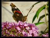 Admiral at Breakfast by Larser, Photography->Butterflies gallery