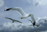 Seagulls in Flight by ted3020, Photography->Birds gallery