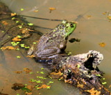 A Frog on a Log in the Bog by Pistos, photography->reptiles/amphibians gallery