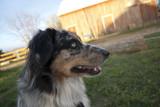 Sammy on a Barn by dogloverbb1, photography->pets gallery